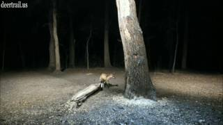 Red Fox Was Back  (4-30-17)