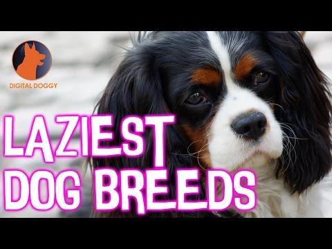 7 Laziest Dog Breeds
