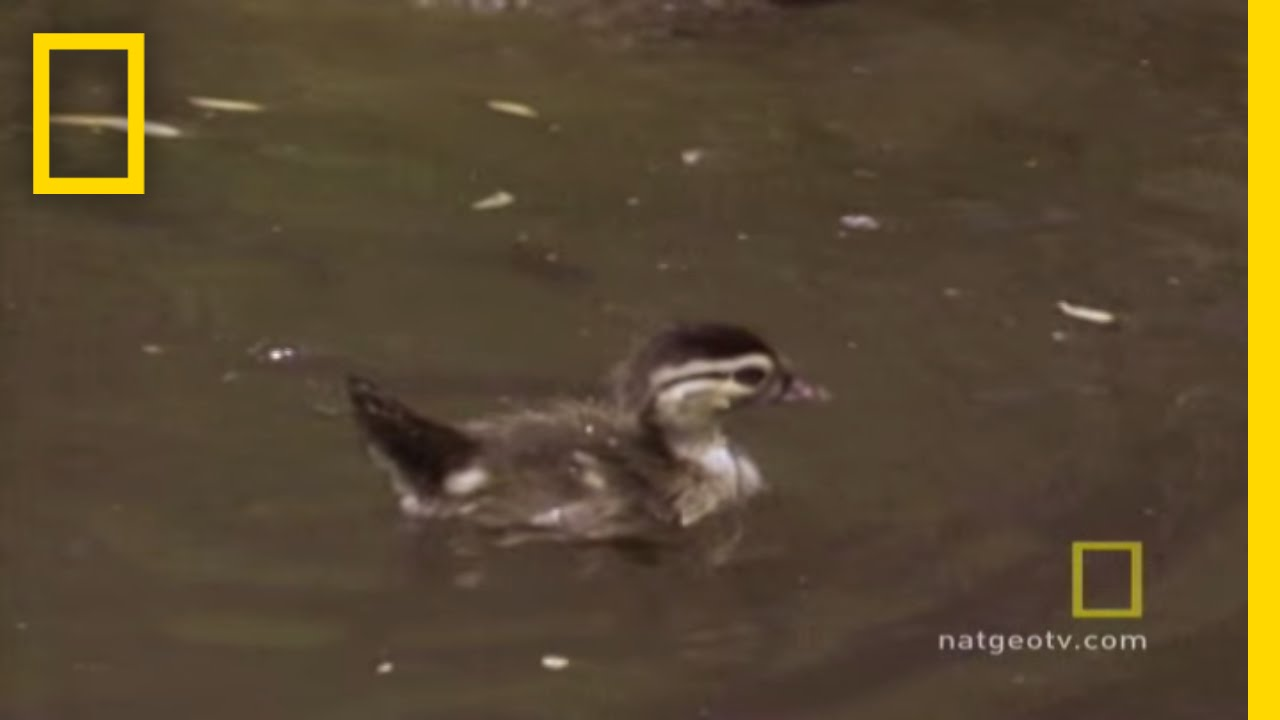 Baby Ducks\' First Flight   National Geographic - YouTube