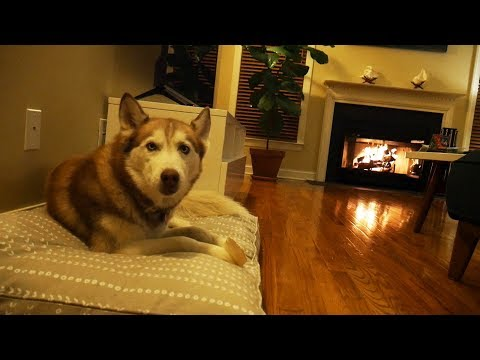 Laika the Husky relaxes by the fire