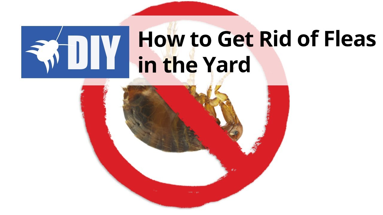 How to Get Rid of Fleas in the Yard - YouTube