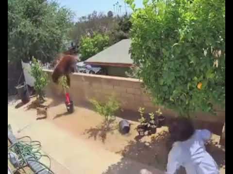 Mujer pelea con un oso / mujer defiende a sus perros de un oso