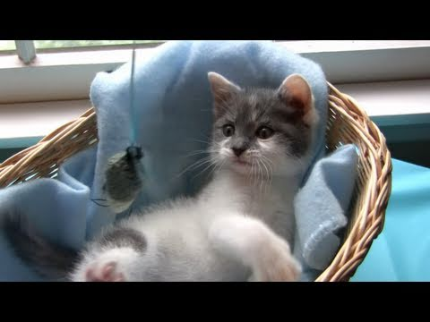 Thumbnail for Cat Video Cutest Kitten Ever - Little Leo Plays with a Toy Mouse