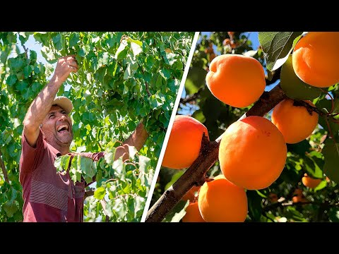 Супер богатый урожай армянских абрикосов. Экспорт фруктов из Армении вырос в семь раз