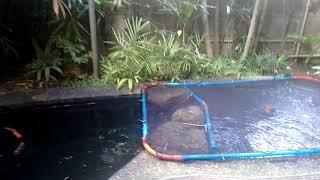 Mike Lim's Koi Pond Aug 2017
