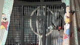 gris gabon-папугай жако Гоша.