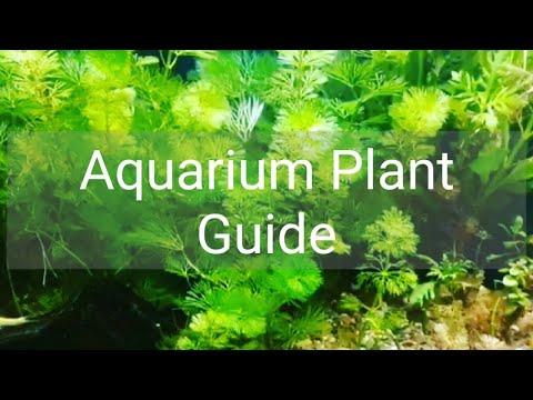 Aquarium Plant Guide | Cabomba caroliniana