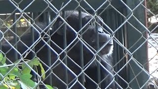 Lonely Chimp Has Been Stuck In Amusement Park For 50 Years