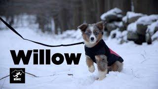 Meet Willow | Miniature Australian Shepherd