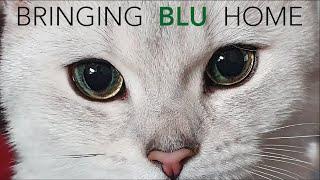Blu the British Shorthair | Kitten's first day home