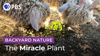 The Delicious Climate Change-Fighting Plant | Backyard Nature