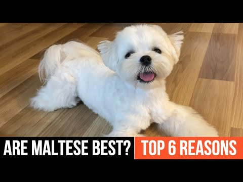 TOP 6 REASONS WHY MALTESE DOGS ARE THE BEST  ❤️