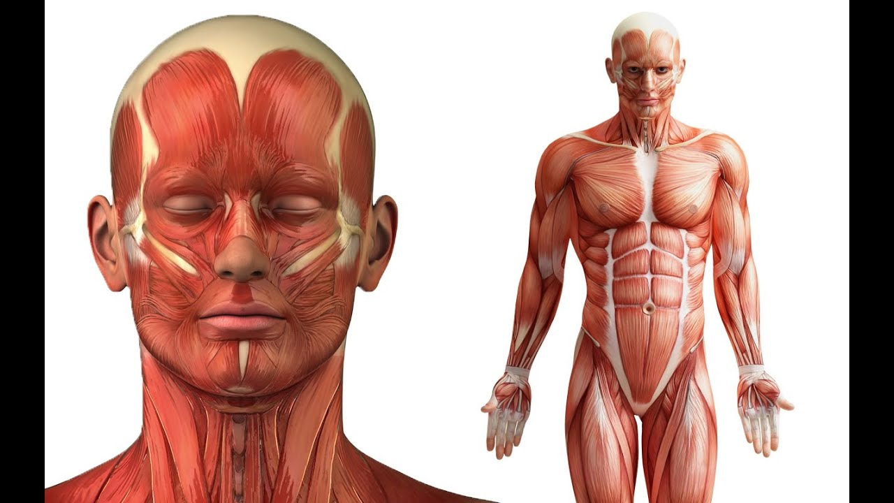 human body organs anatomy, pictures, diagram and worksheet. 100, Muscles