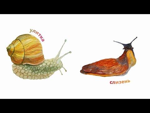 Вопрос: Из чего состоит улитка или какой другой моллюск?