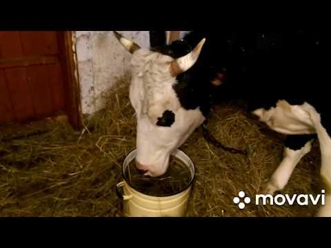 Корова ЗАБОЛЕЛА остановился