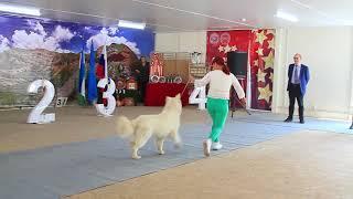 Международная выставка собак Созвездие Азии, Бишкек 2018. Часть 34