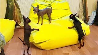 Самые маленькие собаки. The smallest dogs. Русский Той терьер.  Russian Toy Terrier.