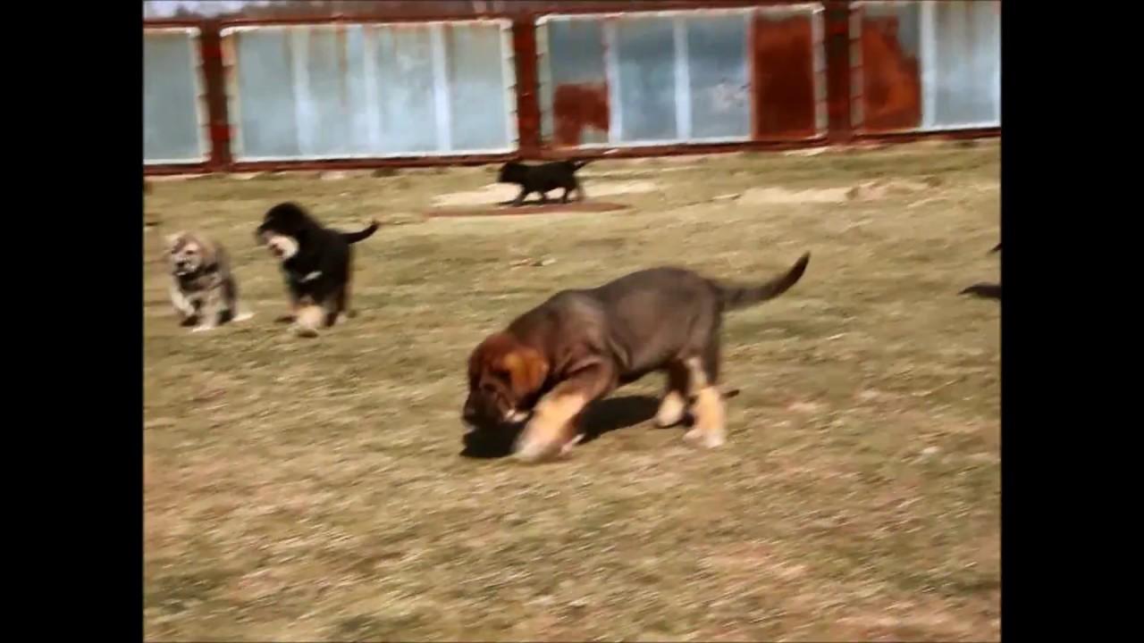 Our Spanish Mastiff Puppies Mastin Espanol Cachorros Youtube