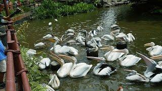 Feeding Pelicans,water birds,Gulls,Pelican at Pelican Cove,Jurong Bird Park Singapore