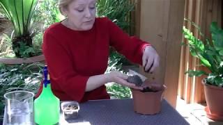 Выращивание астры из семян, часть2. Сажаем  Хризантеллу.