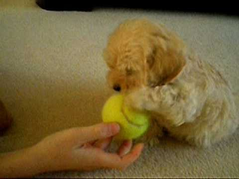 Cockapoo Puppy Youtube