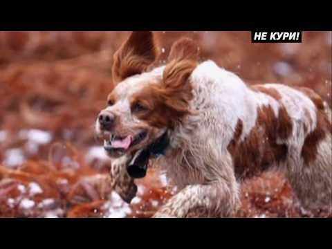 О породе собак Эпаньоль бретон и Русский охотничий спаниель