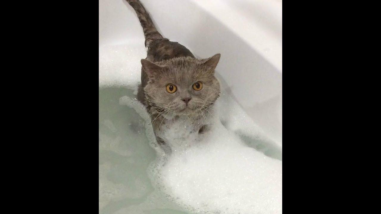 Как купать британского кота