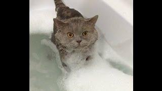 Как искупать кота? Как подстричь когти? Британский кот купается.
