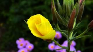 Akşam Ezanını Duyunca Açan Çiçek Görenleri Şaşkına Çeviriyor