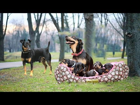 Mom keeping dad away from the puppies to protect them- Cute dog video