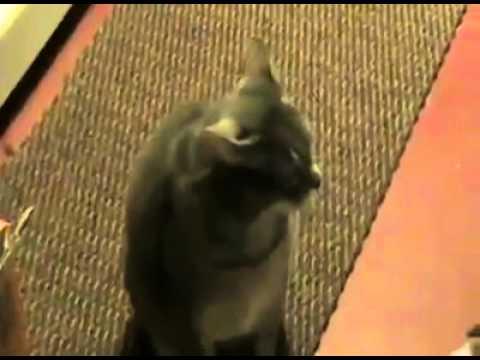 Hey - Cat Hey diye bağıran kedi