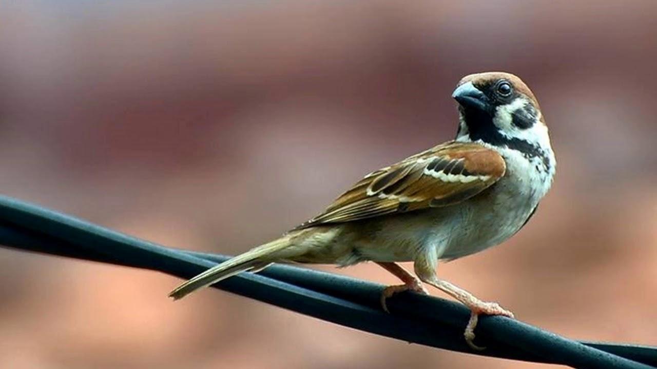 Langsung Nyaut Masteran Burung Gereja Super Efektif Bikin Burung Gereja Gacor Dan Ngeplong Youtube