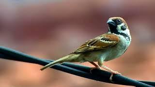 Langsung Nyaut!!! Masteran Burung Gereja   Super Efektif Bikin Burung Gereja   Gacor Dan Ngeplong