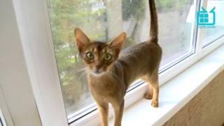 С хозяином рядом. Абиссинские кошки(Ни для кого не секрет, что кошка, как священное животное богини Бастет, особо почиталась в древнем Египте...., 2013-07-03T11:56:23.000Z)
