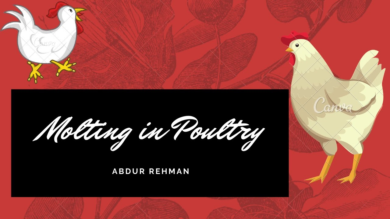 Download Molting in Poultry #animalsciences #molting #poultryscience #animalnutrition #poultrynutrition