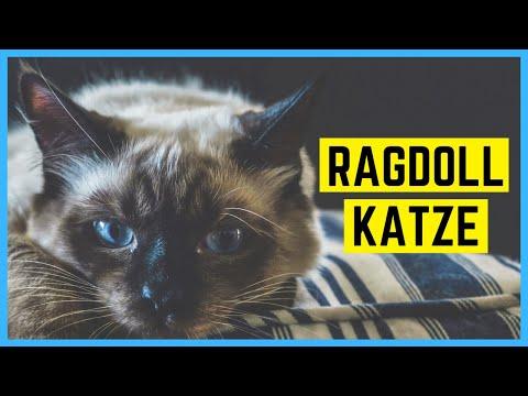 RAGDOLL KATZE - Charakter Und Besonderheiten
