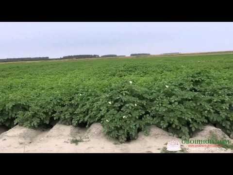 Цветение голландских сортов картофеля из машины