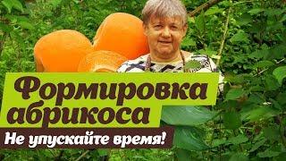 Как формировать абрикос летом