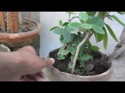 How To Katakataka Plant Re Potting | Patharchatta Plant (Urdu/Hindi)