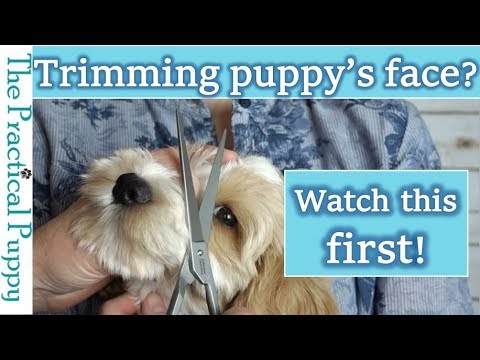 How to Trim Around a Long-Haired Dog's Eyes: Labradoodle Grooming