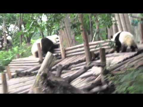 Chengdu China Panda Reserve