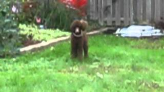 Happy Brown Standard Poodle