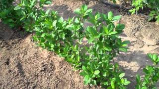 Aronia Berry Plants - Certified Aronia Plants Nursery Dlr.