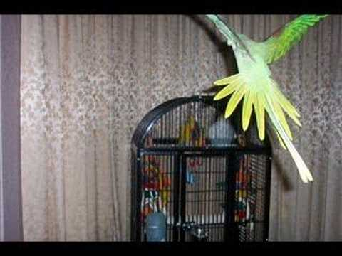 my Parrot Monty pictures and video