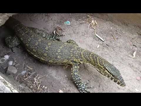 A Monitor Lizard, quite friendly!