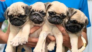 Chó Pug và Bull pháp tìm chủ mới | Trại Chó Bình Cao | 6/2/2020 | liên hệ : 0939.2222.11