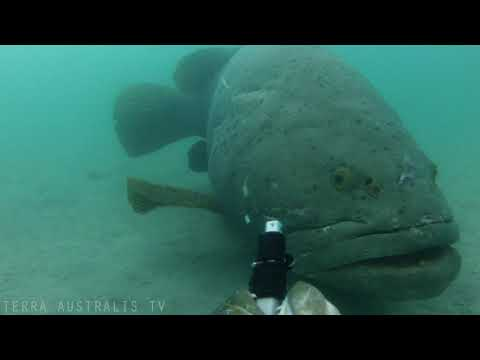 Giant 300kg Queensland Grouper steals our camera