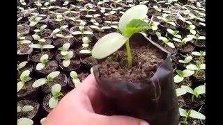 видео Выращивание рассады огурцов. Рассада для теплиц.