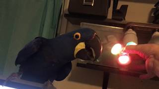 MY BIRDS FIRST TIME REACTION TO A FIDGET SPINNER!