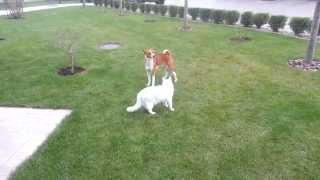 Басенджи и кот играют